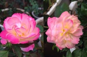 Hoa hồng đổi màu