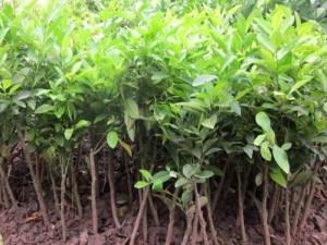 Giống cây chanh bốn mùa