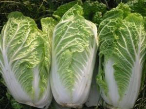 Giống cải thảo xanh