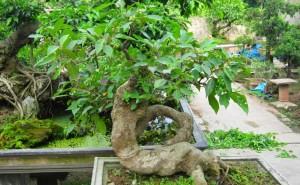Trồng và chăm sóc cây sung cảnh ra quả