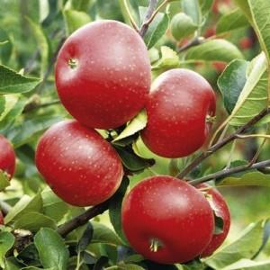 Giống táo đỏ