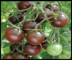 Hạt giống cà chua Chocolate