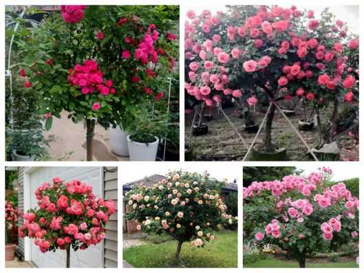 hat-giong-hoa-hong-than-go-tree-rose-341