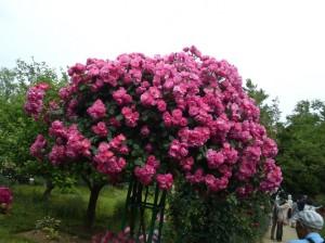 Hoa hồng thân gỗ Tree Rose