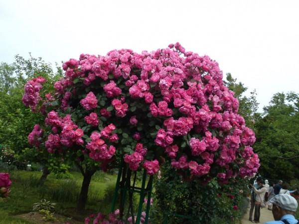 hoa-hong-tree-rose-gia-dat-bong-tay-co-gi-la-hinh-12