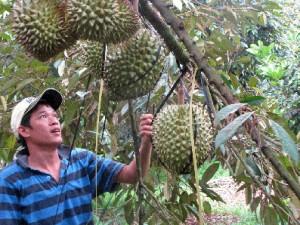 Giải pháp hạn chế tác hại nhiễm mặn đến cây ăn trái
