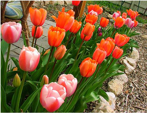 trong-hoa-tulip1-132201314