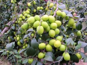 Giống táo đại Đài Loan