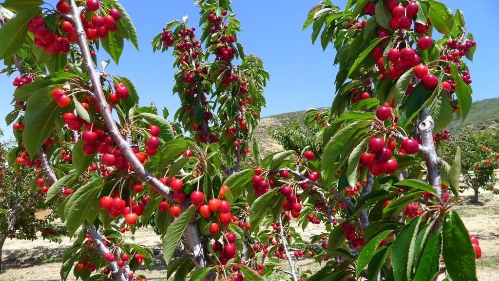 cay-cherry-3