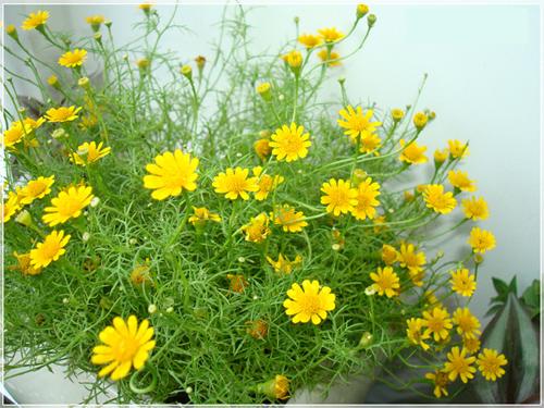 khom-hoa-cuc-sao-bang-thymophylla